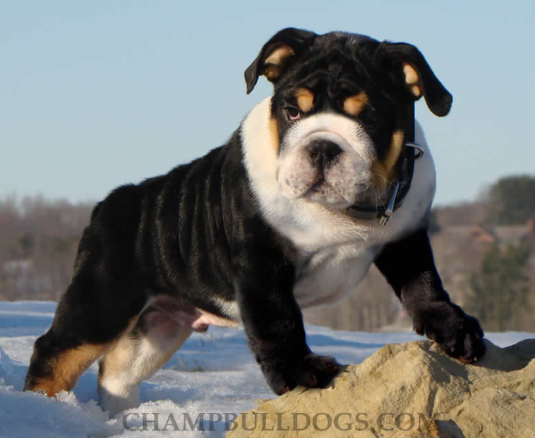 Black English Bulldog