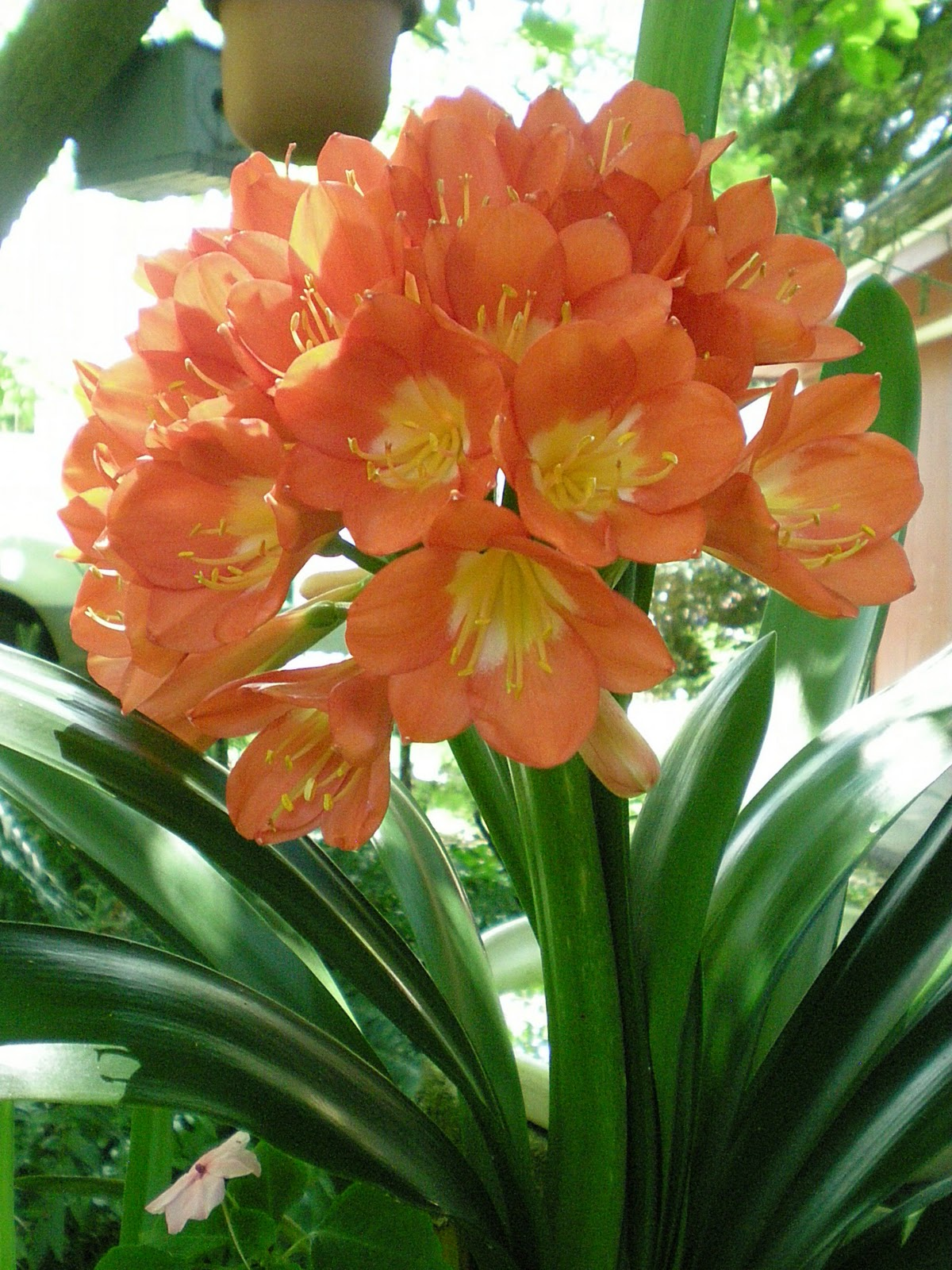 This is the Clivia houseplant that is blooming right now at the Jarvis  Garden. It one of few tender bulbs or plants that I take inside in the  Fall, ...