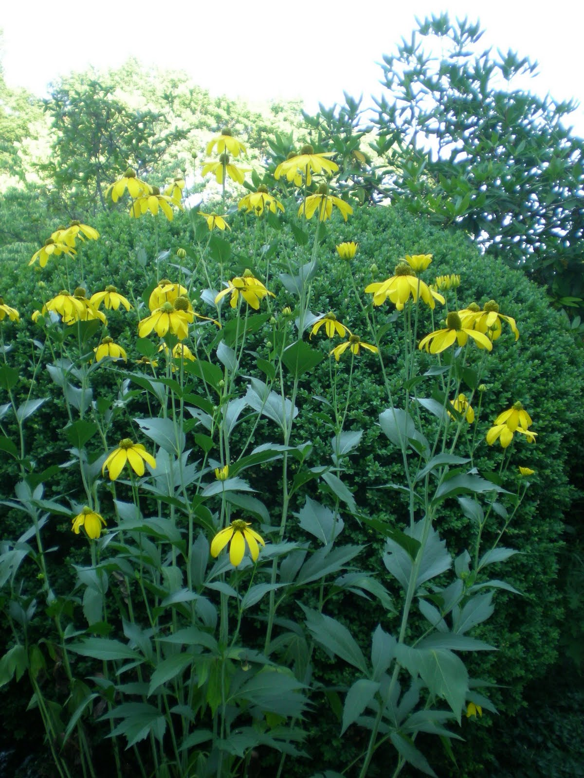 Jarvis house late summer daisies then there is this plant which is very tall around seven feet another perennial and has yellow daisy like blossoms with a green center izmirmasajfo
