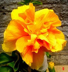 Hibiscus Amarelo dobrado (Orig. China)