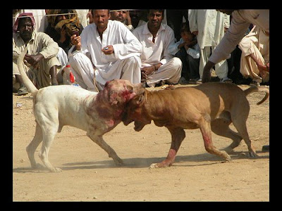 bully kutta photographs dogbreedworld com bully kutta photographs ...