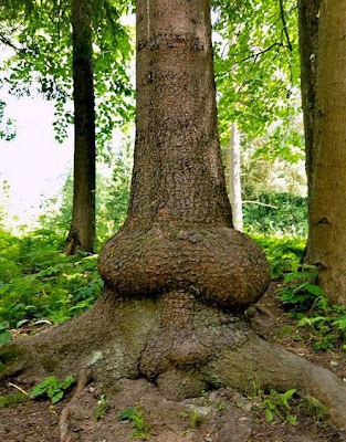 árvore pênis