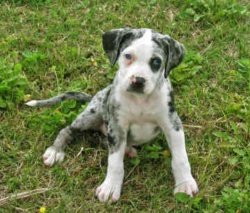 Dog Pictures Catahoula