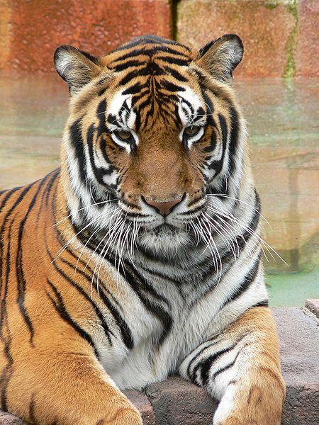 bangel tiger