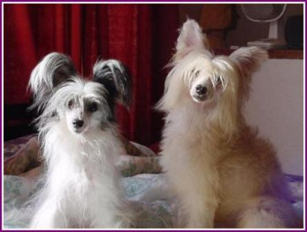 Hairless Chinese Crested. kind of Chinese crested