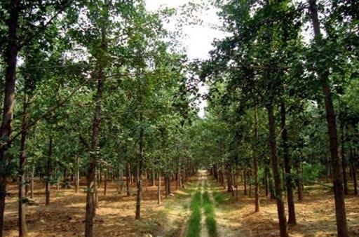 uzgoj ginka drugih biljaka details about the ginkgo plantation cultivation. Black Bedroom Furniture Sets. Home Design Ideas