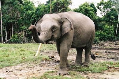 http://3.bp.blogspot.com/_0C3gi-Ych0M/SPivpqWKQWI/AAAAAAAABAE/GCRk8XcQPIM/s400/sumatra+elephant.jpg