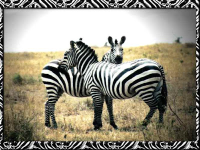 Funny animal picture - beautiful animals: Zebra Wallpapers