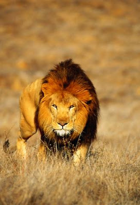 ������ ���� ���� Lion_010.jpg