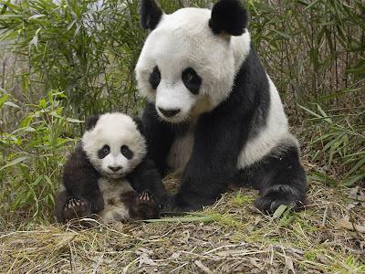���� ����� ������.....����� panda-bear-d.jpg