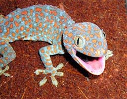 Tokay Gecko as a cure for AIDS?