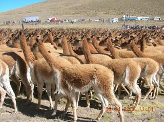 Auquénidos, Pampas Galeras - Ayacucho