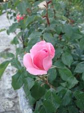 Trandafir roz ( din blogul Principelui Radu )