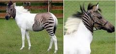 Zebroid ( zebra + ecvina )