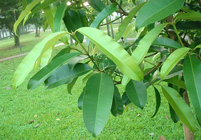 Ebony mature leafs