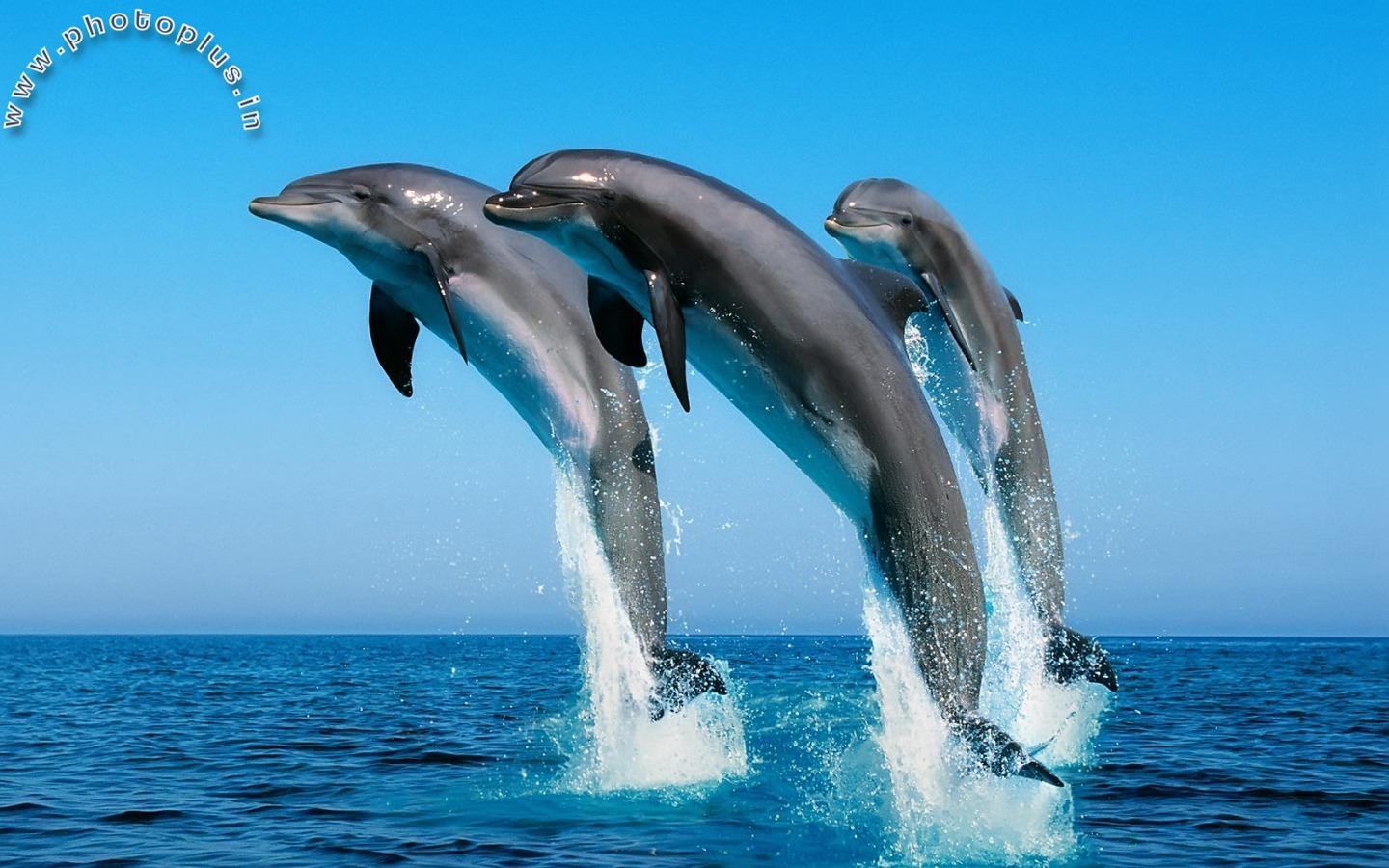 Dolphins Jumping Ocean View