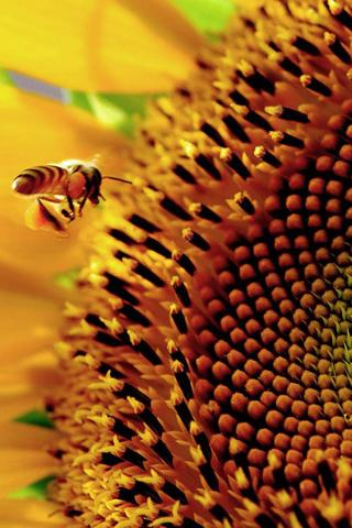 Sunflower Honey Bee Collect Mobile Wallpaper