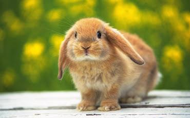 #11 Rabbit Wallpaper