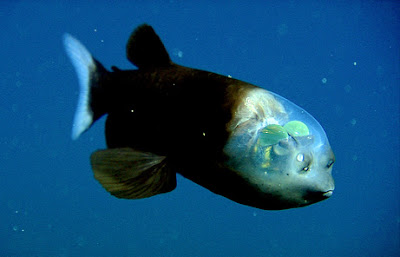 Weird fish with transparent head