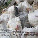 Menyediakan Ayam Potong