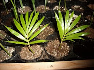 Palm Seedling Posts