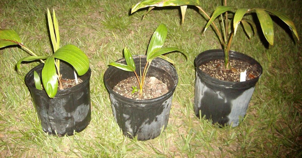 One seedling BLOND Flame thrower palm Chamberyona macrocarpa var. HOOKERI