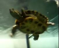 turtle fish tank