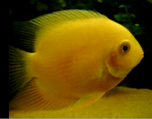 rare yellow severum cichlids