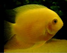 rare yellow severum cichlids