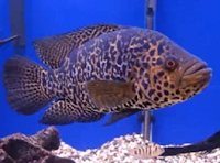 jaguar fish