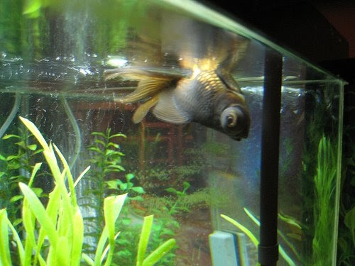 All About Aquarium Fish Goldfish Flipover Disease Swim