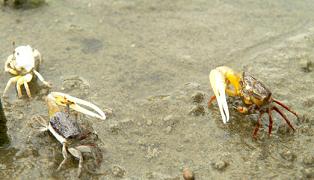 aquarium crab