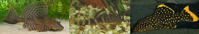 common, clown, gold nugget pleco