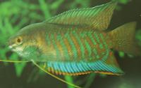 Banded Gourami (Colisa fasciata