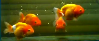 ranchu goldfish collection