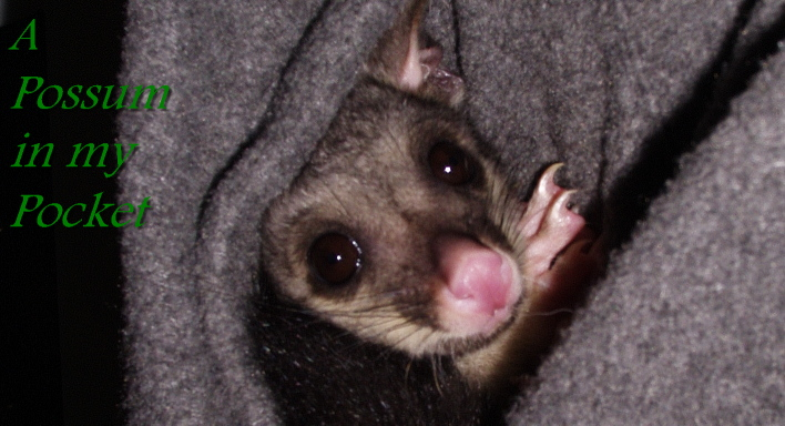 A Possum in my Pocket