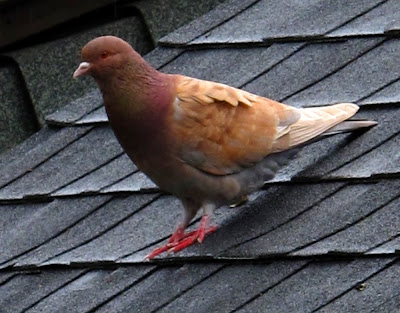 rose tan pigeon