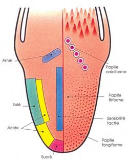 Pourquoi et comment pouvons nous interagir sur le go t des aliments - Pamplemousse amer ou acide ...