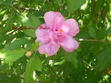 Rose of Sharon, Lovely to Look at, Healthy to Eat