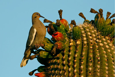 White-winged Dove Eating Saguaro Fruit