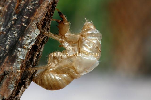 Cicada Exoskeleton Macro