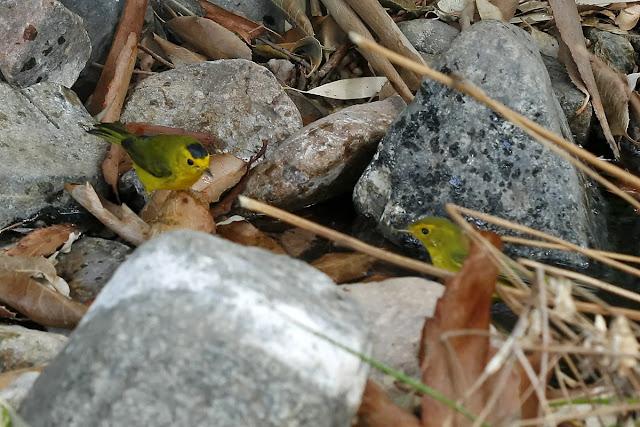 Wilsons Warbler, Boyce Thompson Arboretum