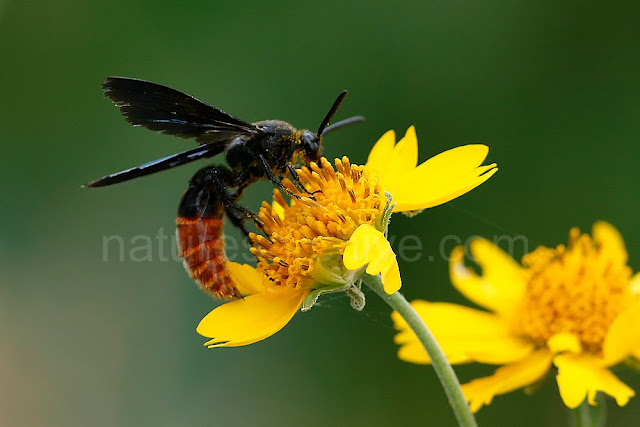 Digger Wasp on Flower