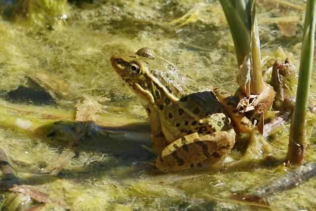Lowland Leopard Frog