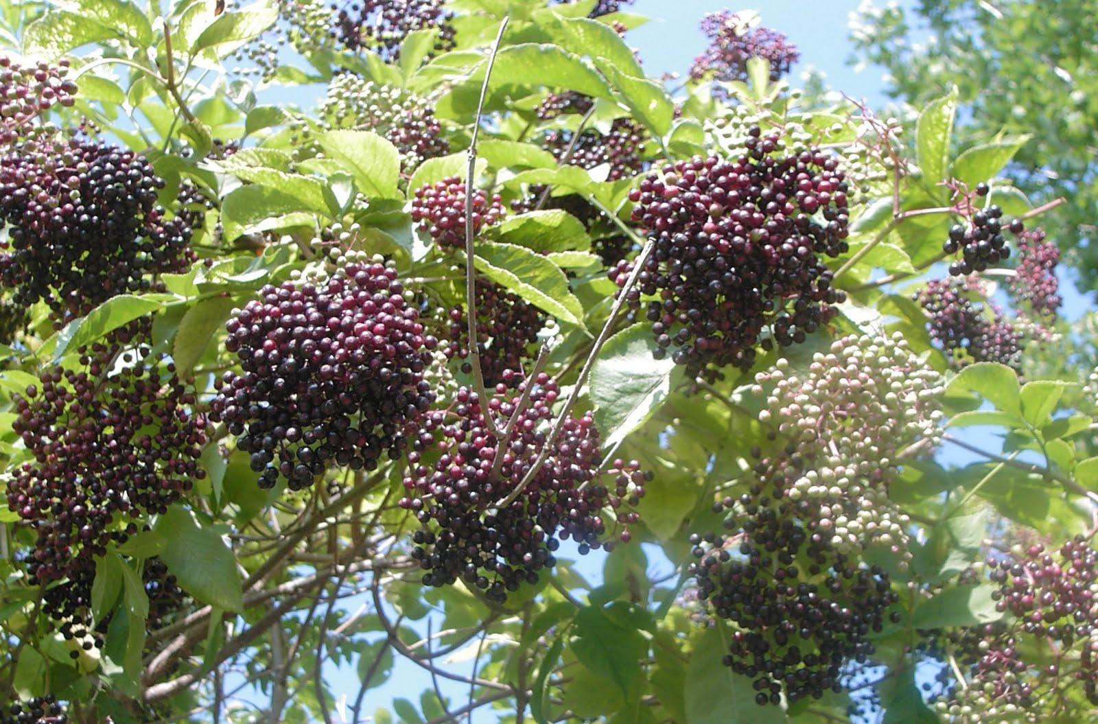 Elderberry Jelly Recipe — Dishmaps