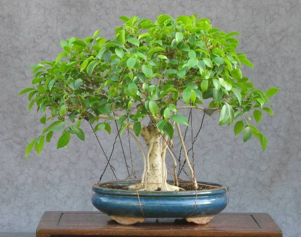 martins bonsai blog ficus bonsai microcarpa teil 1. Black Bedroom Furniture Sets. Home Design Ideas