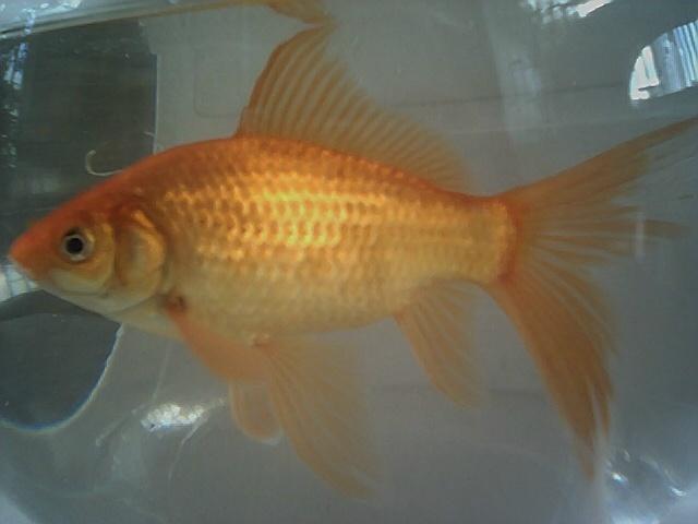 Cuidar al pez cometa t pico de feria fan del pez for Comida viva para peces