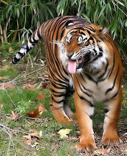 Flehmen, tigre