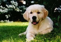 Golden Retriever. Fiel Mascota