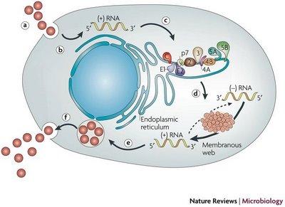 Viromedica mayo 2010 - Epatite c periodo finestra ...
